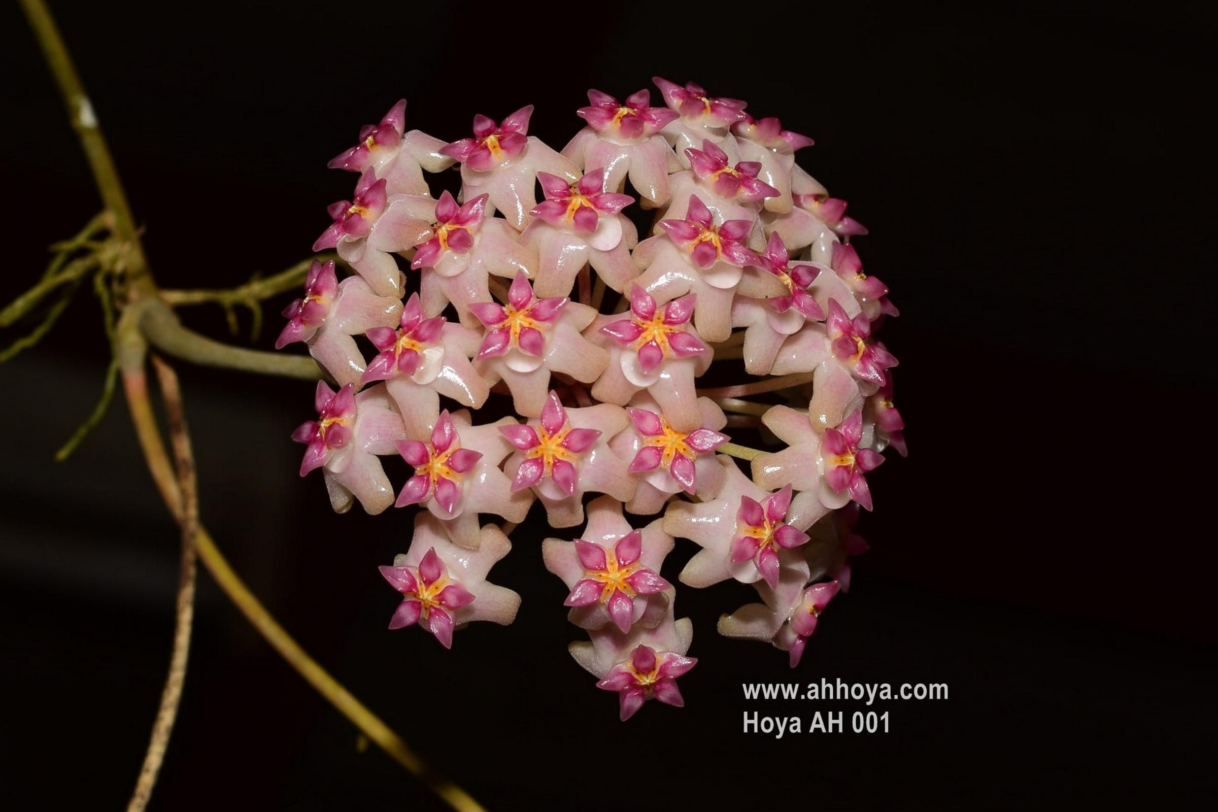 Hoya Plants Nursery Thailand Ah Suanlangbang Cutting สวนหล งบ าน ขายโฮย า ไม น ว